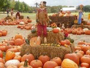 pumpkin-patch2
